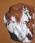 APHA Stallion