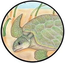 SEA TURTLE - KEMPS  RIDLEY