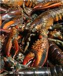 Lobsters Gone Wild