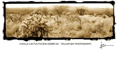 Cholla Cactus, Tucson Desert, AZ