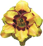 Peach Double Daylily
