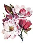 Pretty Magnolias