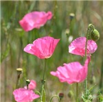 Pink Poppies Home Goods