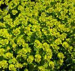 Little Yellow Flowers