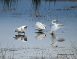 Dance of the Trumpeter Swans