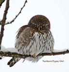 Northern Pygmy Owl 2