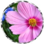 Pink Cosmos 72005