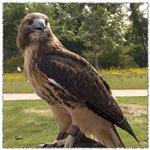 Red tail hawk (2)