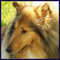 COLLIE ON T-SHIRTS & GIFTS