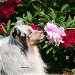 Sheltie Flower