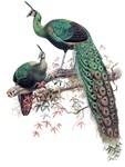 1872 Vintage Green Peafowl Art