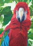 Attention Red Macaw