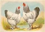 Vintage Brahma Chickens