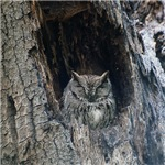 Western Screech Owl Close-up