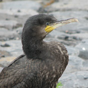 Wild Dutch Cormorant