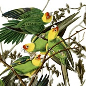 Audubon's Carolina Parakeet