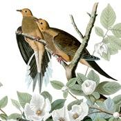 Audubon's Mourning Dove