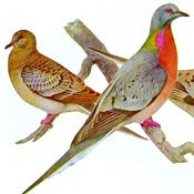 Fuertes' Passenger Pigeon