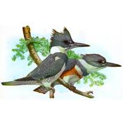 Fuertes' Belted Kingfishers