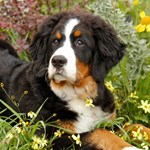 BERNESE MTN DOG