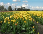 Dutch Windmill Yellow Tulips Flowers Landscape in