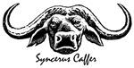Syncerus Caffer