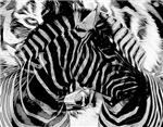 Zebra - Tiger Stripes
