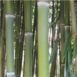 Bamboo Culms Photo