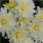 Yellow Garden Mums Photo