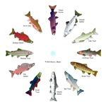 Trout and Salmon Clocks 1
