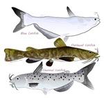 3 North American Catfish