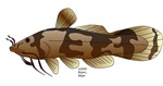 Silly Madtom catfish