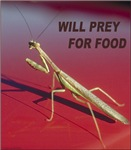 Mantis preys for food