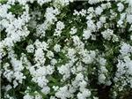 Hundreds of Blossoms