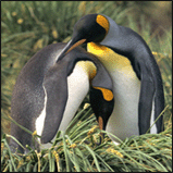 King Penguin Lovers