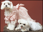 Maltese Dogs Photography