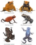 Neotropical Poison Frogs
