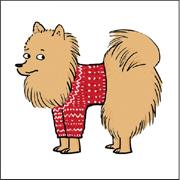Pomeranian/Pomeranian in a Knitted Sweater