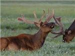 Elk with Attitude