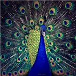 Cobalt Blue Peacock