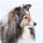 Snow Day Sheltie
