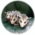 Opossum Images