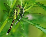 GREEN DRAGONFLY eats a DAMSEL FLY