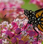 Monarch in Pink Collection