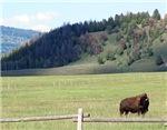 Bison Behind Fence