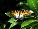 Tiger Swallowtail Resting