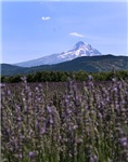 Mount Hood and Lavender