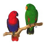 Eclectus Pair Digital Oil