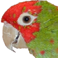 Wild Conures of Telegraph Hill