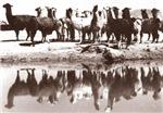 Sepia Llamas in Peru